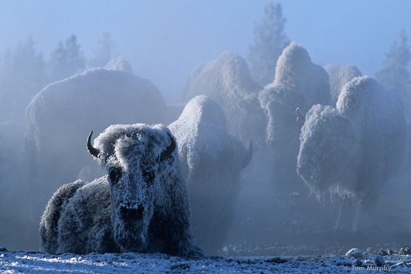 Bison at 35 below Zero 600px