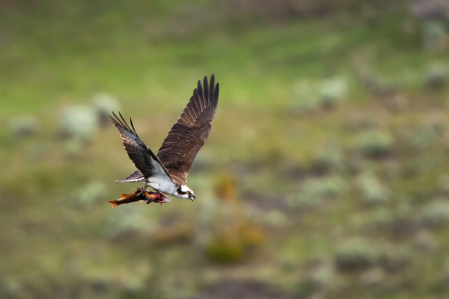 Osprey carrying Yellowstone cutthroat trout - Cindy Goeddel
