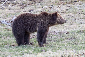 Yellowstone Grizzly Profile