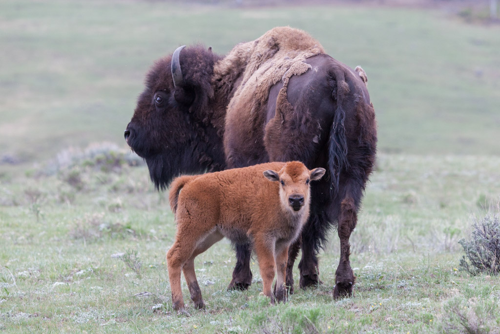 Yellowstone bison and calf