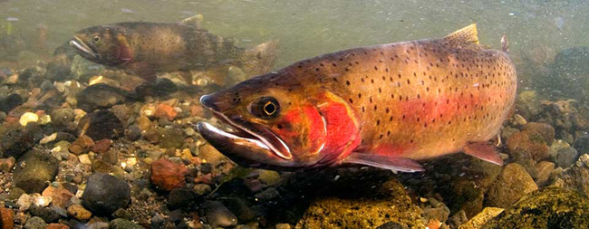 Yellowstone Cutthroat Trout