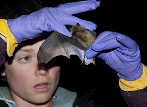 A researcher works with a little brown bat