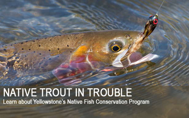 Native Trout in Trouble - Learn about Yellowstone's Native Fish Conservation Program
