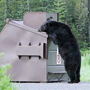 Human/Bear Conflicts in Campgrounds