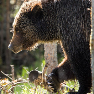 Assess Grizzly Bear Food Habits