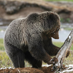 Climate Impacts on Grizzly Bear Feeding